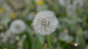 Dandelions in spring Stock Photography