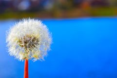 Dandelions at springtime Royalty Free Stock Images