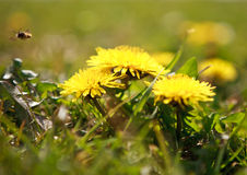 Dandelions summer background Stock Photography
