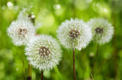 Dandelions. Summer background. Stock Photos