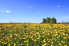 Dandelions on summer field Stock Images