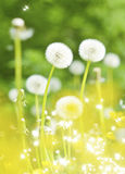 Dandelions, summer flowers Stock Photos