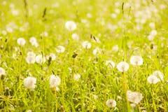 Dandelions in summer grass. Fluffy dandelions in green summer grass, focus on first plan Stock Photos