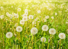 Dandelions on summer meadow Stock Photography