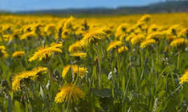 Dandelions in the sun Royalty Free Stock Images
