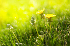 Dandelions In The Sun In Grass Lawn Royalty Free Stock Photo