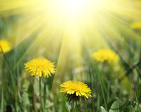 Dandelions and sun light Stock Images