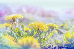 Dandelions in sun light , toned Stock Photo