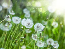 Dandelions in the sunlight Stock Images