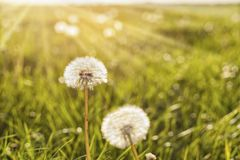 Dandelions in sunlight. Dandelions on a meadow in bright sunlight stock photo