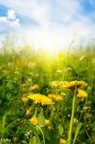 Dandelions sunlit Royalty Free Stock Photos