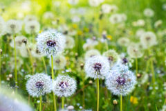 Dandelions on a sunny meadow Stock Image