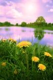 Dandelions at sunrise. Royalty Free Stock Image