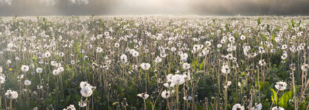 Dandelions at sunrise Royalty Free Stock Photography