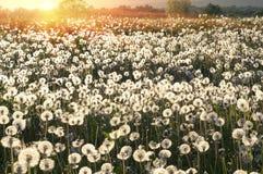 Dandelions at sunrise Royalty Free Stock Photo