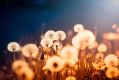 Dandelions at sunset Royalty Free Stock Photography