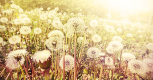 Dandelions at sunset. Stock Photography