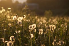 Dandelions at sunset Stock Photo