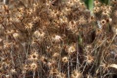 dandelions suszą Fotografia Stock