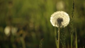 Dandelions swaying in wind