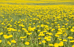 Dandelions. Swedish summer landscape with a meadow of flowering dandelions Royalty Free Stock Images