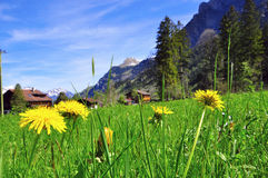 Dandelions in swiss village Stock Photo