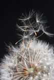 Dandelions taking flight Stock Image