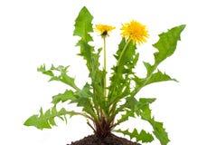 Dandelions (taraxacum officinale) Royalty Free Stock Image