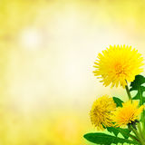 Dandelions (taraxacum officinale) Royalty Free Stock Photography