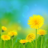 Dandelions (taraxacum officinale) Royalty Free Stock Photo