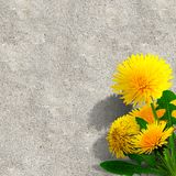 Dandelions (taraxacum officinale) Stock Image