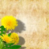 Dandelions (taraxacum officinale) Stock Photography