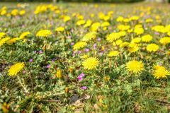 Dandelions, Taraxacum officinale in the grass field. stock photos