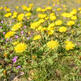 Dandelions, Taraxacum officinale in the grass field. stock photo