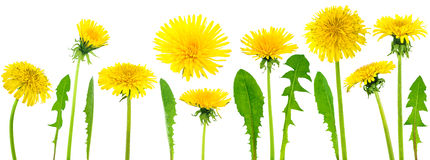 Dandelions (taraxacum officinale) Stock Images