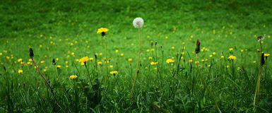 Dandelions - in three phases Stock Photo