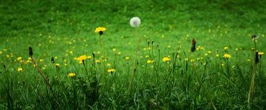 Dandelions - in three phases Stock Photo