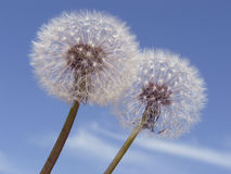 Dandelions. Two dandelions against blue sky Royalty Free Stock Image