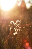 Dandelions under sun rays Stock Photography