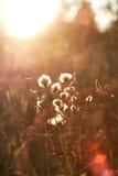 Dandelions under sun rays Stock Photography