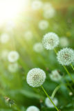Dandelions under sun rays Stock Images