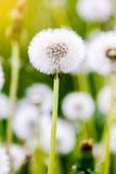 Dandelions under sun rays Stock Photo