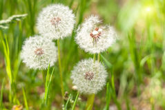 Dandelions under sun rays. Royalty Free Stock Photography