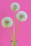 Dandelions in a vase Royalty Free Stock Images