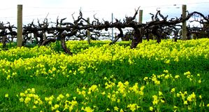 Dandelions & Vineyard Royalty Free Stock Photography
