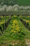 Dandelions in a Vineyard. In front of  blooming cherry trees Stock Photos