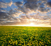 Dandelions w łące Zdjęcia Stock
