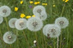 Dandelions w łące Obraz Royalty Free