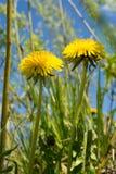 Dandelions w łące Zdjęcie Royalty Free
