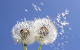 Dandelions w świetle słonecznym Obrazy Royalty Free